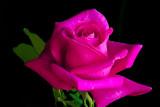 Rose 'Peter Frankenfeld'