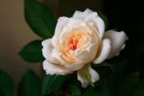 Rose 'White Miniature'