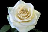 Rose 'Marilyn Monroe'