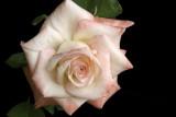 Rose 'Gemini'