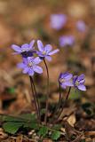 Leberblümchen (Hepatica nobilis) 5