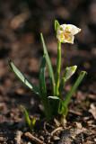 Märzenbecher (Leucojum vernum) 6
