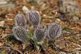 Küchenschelle (Pulsatilla vulgaris)