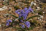 Zweiblättriger Blaustern (Scilla bifolia) 2