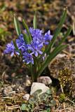 Zweiblättriger Blaustern (Scilla bifolia) 3