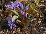 Zweiblättriger Blaustern (Scilla bifolia) 4
