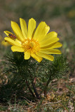 Frühlings-Adonisröschen (Adonis vernalis) 2