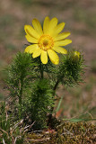 Frühlings-Adonisröschen (Adonis vernalis) 3
