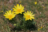Frühlings-Adonisröschen (Adonis vernalis) 4