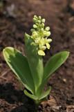 Blasses Knabenkraut (Orchis pallens) 12