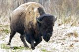 354-37 Bison