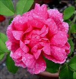 Marbree  ( a rose with natural spots)