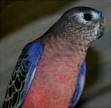 Our Aviary Birds