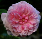 Marquise Spinola ....One of my very favorite Roses... Bred in France by Dominique Massad