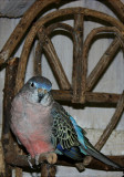 He is such a cute little boy!  He is one of the ones likes to sit on my head.....when I am working in the aviary....