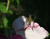 A tiny bug that I found on one of my roses today