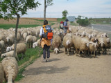 Overtaken by sheep!!