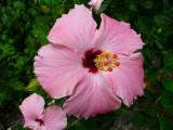 Amapola (Hibiscus rosa-sinensis)