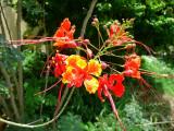 Clavelina (Caesalpinia pulcherrima)