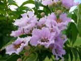 Reina de las flores (Lagerstroemia speciosa)