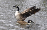 Canada Goose, Oundle.