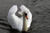 Mute Swan, Friars Park Shoeburyness.