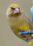 Green Finch, Oundle