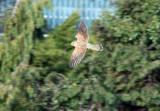 Kestrel in Flight, Gunners Park, Shoeburyness