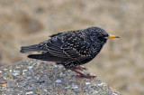 Starling Southend Seafront.