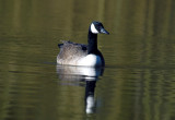 Canada Goose, Thorndon Park, West Horndon.