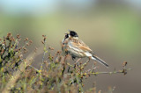 Reed Bunting Wat Tyler Park Pitsea.