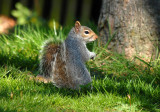 Squirrel Southchurch Park Southend On Sea