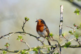 Robin in Barnwell Country Park Oundle.