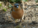 Chaffinch, Barnwell Country Park, Oundle.