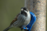 Reed Bunting, Barnwell Country Park, Oundle.