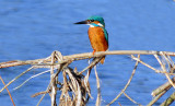 Kingfisher, Barnwell Country Park Oundle.