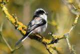 Long Tailed Tit, Barnwell Country Park, Oundle.