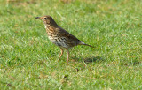 Song Thrush, Barnwell Country Park, Oundle.