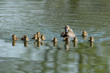 Baby Duckins Mallards, Barnwell Country Park, Oundle.