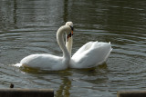Mute Swans, Barnwell Country Park, Oundle.