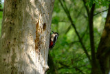 Great Spotted Woodpecker, Oundle.