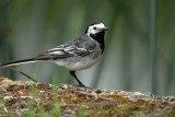Pied Wagtail, Oundle Mill.