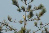 Green Woodpecker, Gunners Park, Shoeburyness