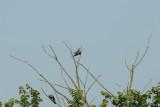 Cuckoo, Gunners Park, Shoeburyness,