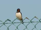 Swallow, Gunners Park, Shoeburyness,