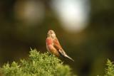Linnet (Male), Gunners Park, Shoeburyness.