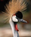 Grey Crowned Crane, Flamingo Hotel Las Vegas.