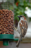 Sparrow, My garden in Shoeburyness.