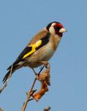 Goldfinch, Gunners Park, Shoeburyness.