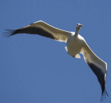 white pelican flying face on from below_MG_8879.jpg